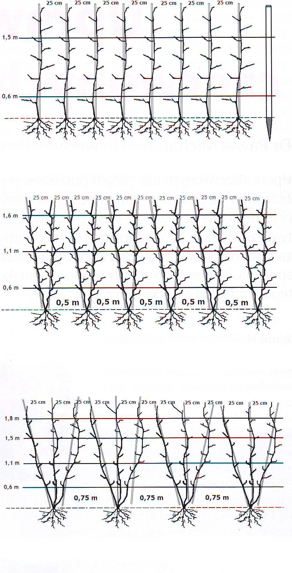 Схема посадка крыжовника