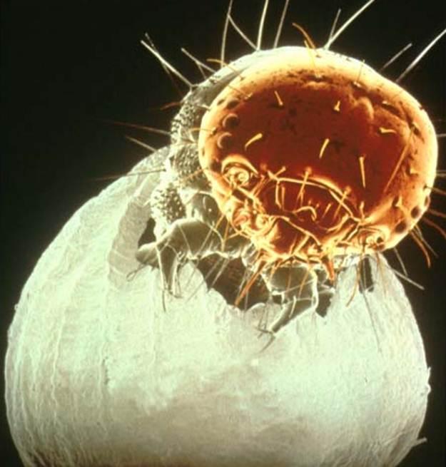 Личинки погибают уже при прогрызании оболочки яйца, если яйцекладка была обработана АВАНТОМ®
