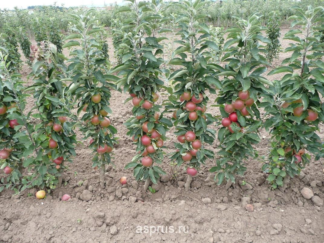 Кто сажал колоновидные яблони 393