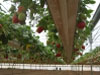 Выращивание ремонтантной земляники на гидропонике в Испании