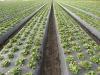 Интенсивная технология производства ягод земляники в Калифорнии