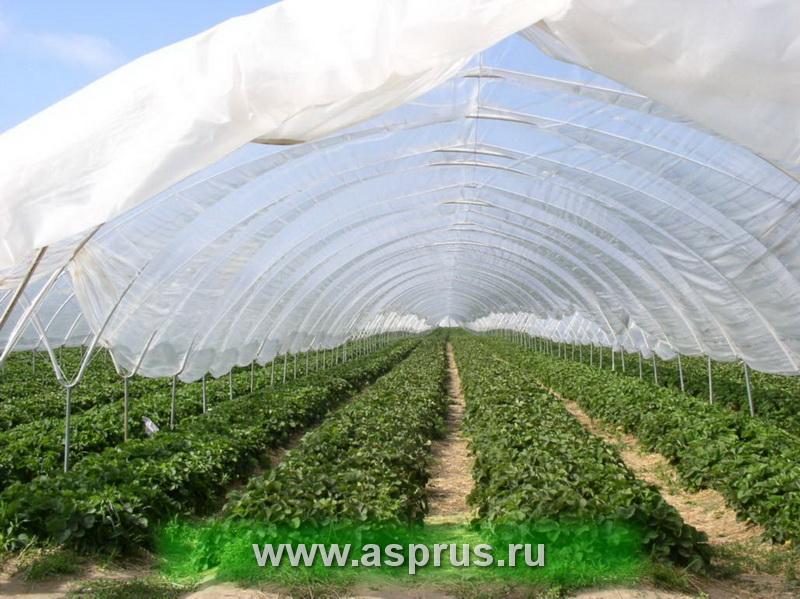 Плантация земляники в пленочных теплицах, Польша