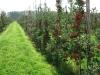 Плодоношение 2-летних деревьев яблони сорта Гала маст. Бельгия