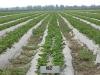 Молодая плантация земляники садовой в агрофирме Сад-Гигант