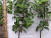 Саженцы яблони, выращивыемые по технологии книп-бом после обработки регулятором роста Арболином