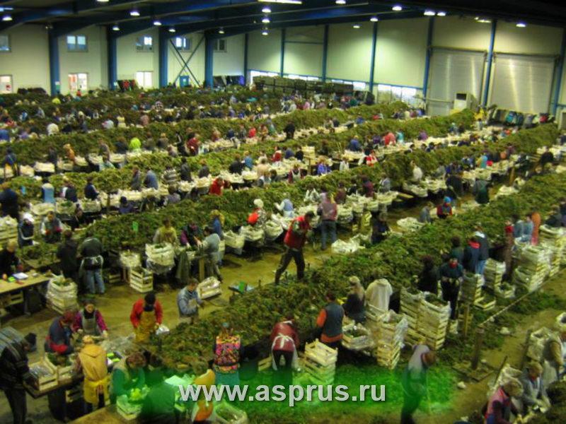 Сортировка рассады земляники на фирме Полплантс, Польша