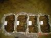 Рассада земляники садовой в ящиках по категориям с указанием количества