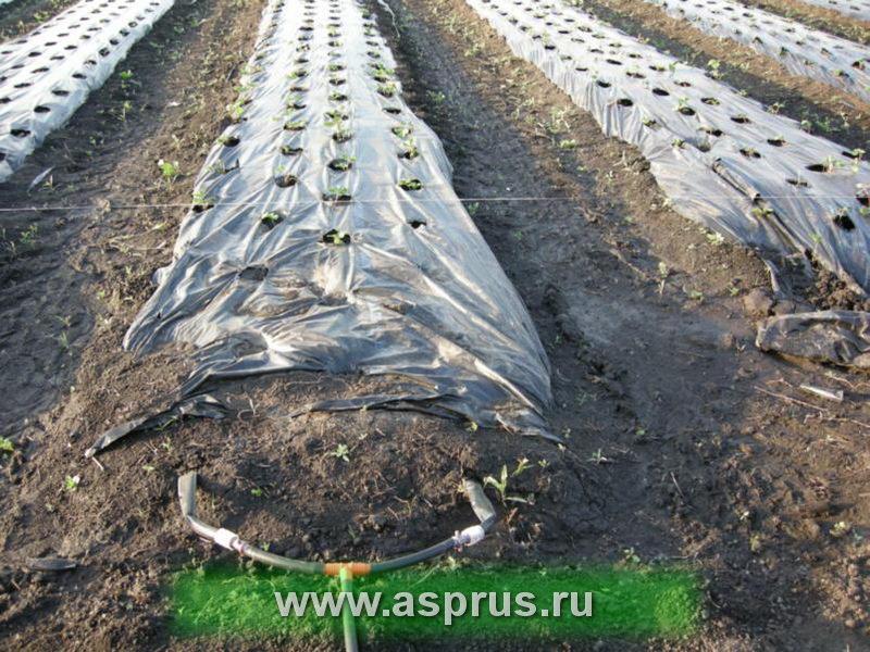 Укладка капельных линий под мульчирующую пленку на плантацию земляники