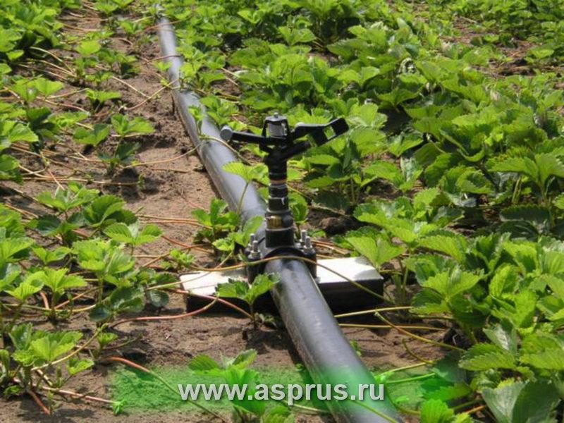 Поливная система Роса  на плантацию земляники