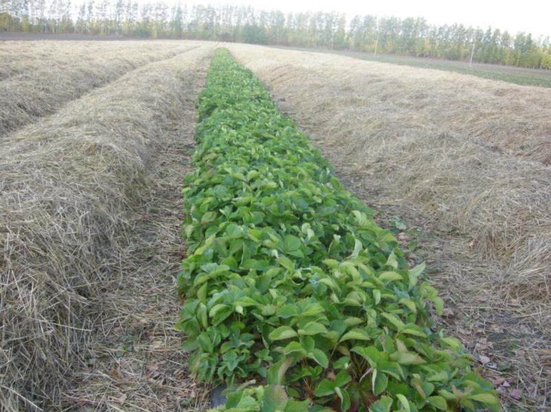 Укрытие плантации земляники соломой для защиты ее от зимних повреждений