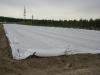 Укрытие плантации земляники флазелином (агроволокном)