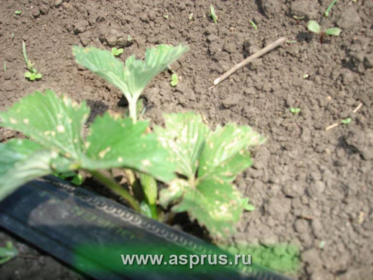 Поражение молодых растений земляники крестоцветной блошкой