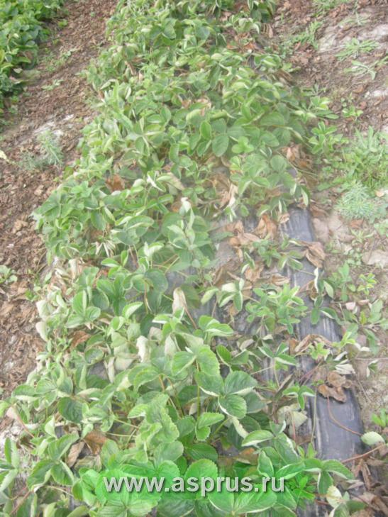 Поражение плантации земляники фитофторой в результате избыточного увлажнения