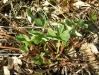 Угнетение растений земляники избыточным фосфором