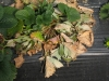 Вертициллез растений земляники