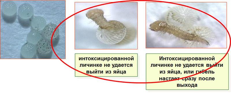 Anticarsia gemmatalis яйцекладка обработанная Кораген, КС в концентрации 1г дв/ 100 л