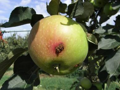 Повреждения плодожоркой