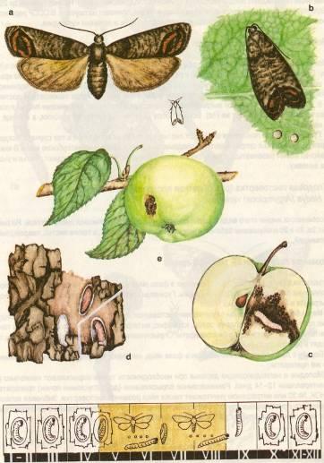 Цикл развития яблонной плодожорки