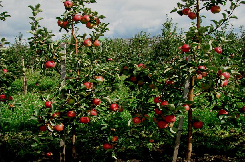 Модели интенсивных садов яблони для условий средней полосы России