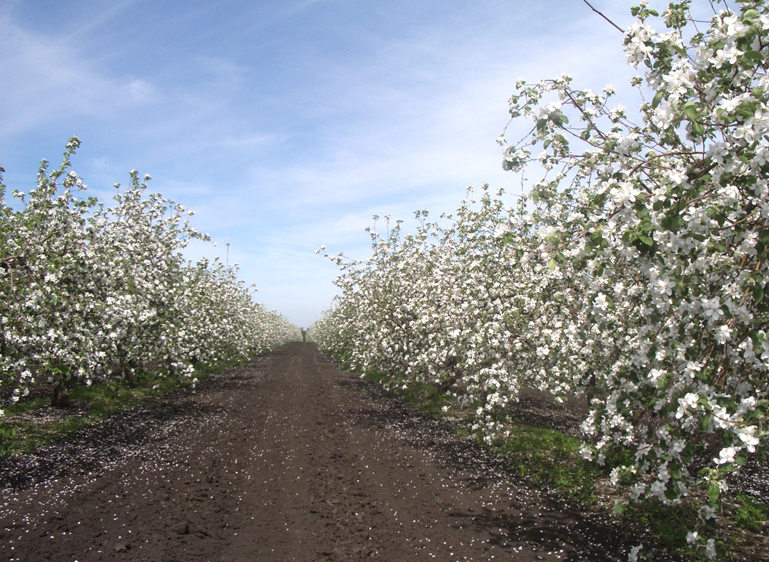 Интенсивные сады на семенных и среднерослых подвоях