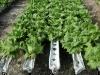 Возделывание овощей с контролируемой системой подачи элементов питания
