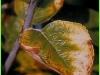 Дефицит калия у яблони