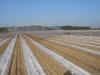 Укрытие перфорированной пленкой маточных растений ранней весной
