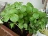 Изучение выращенных растений земляники  в лаборатории