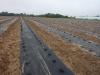 Подготовленный участок под посадку высококачественной рассады земляники садовой