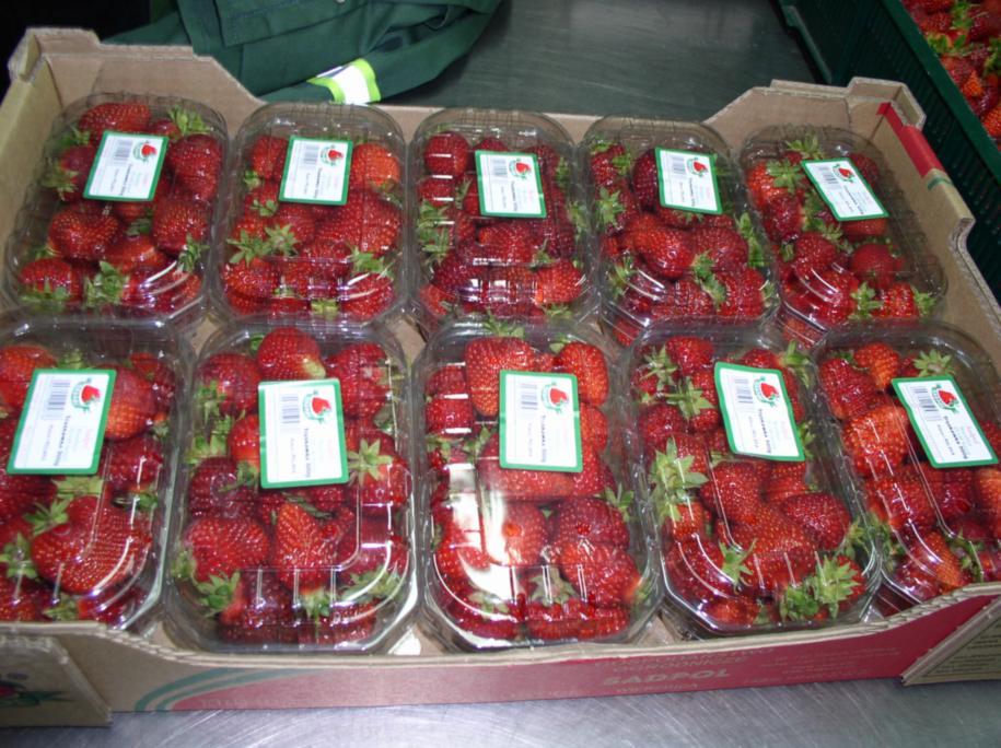 """Товарная упаковка ягод класса экстра сорта Эльсанта в фирме \""""СадПол\"""" для поставки в крупные супермаркеты и транспортировки на дальние расстояния"""