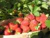 Высокое качество ягод земляники