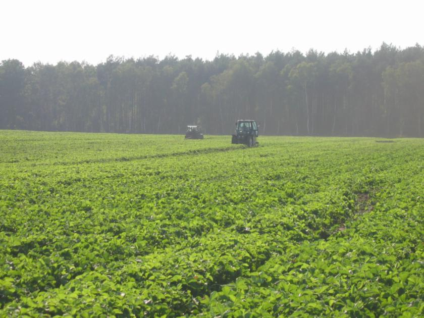 Вид интенсивного маточника земляники, возделываемого по голландской технологии  в конце осени