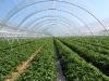 Выращивание земляники в пленочных теплицах (фото Eberhard Makosz).