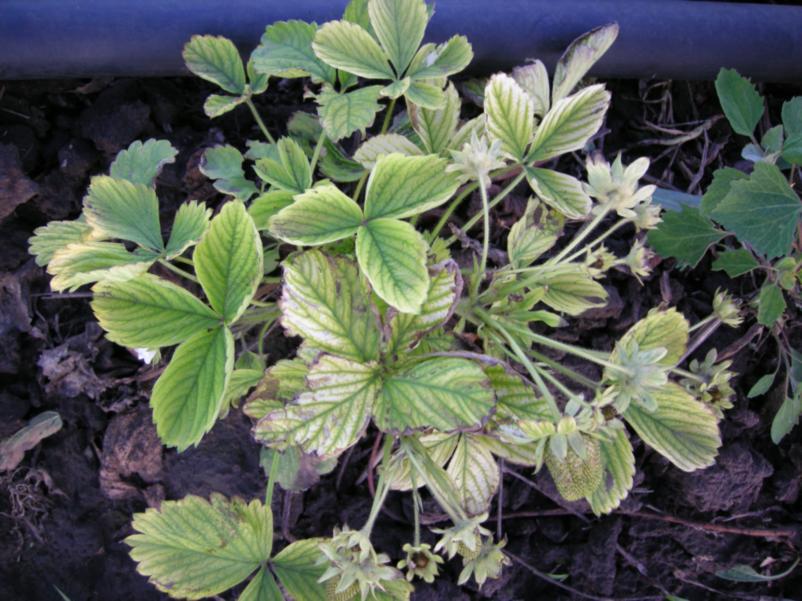 Вид угнетенных растений земляники после зимних повреждений