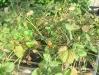 Повреждение земляничным клещом (фото Ефремовой Н.А.)