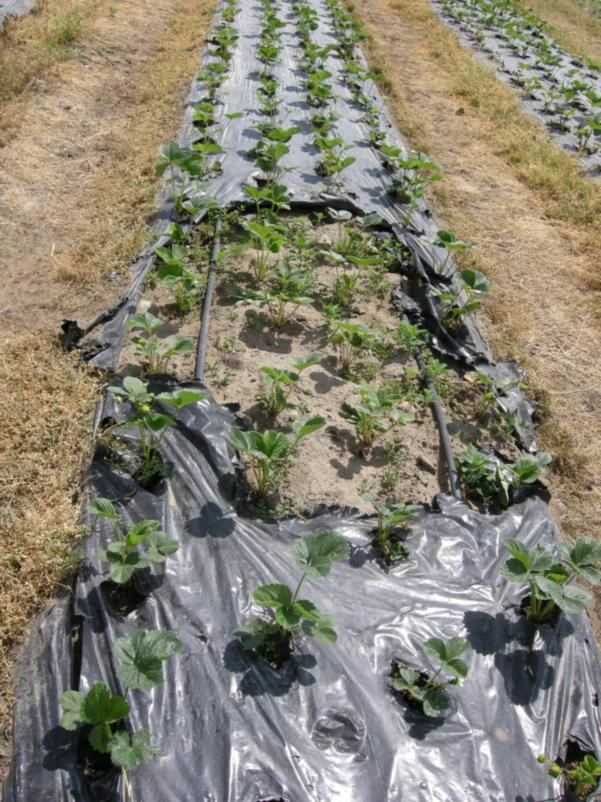 Четырехстрочная система выращивания растений земляники с применением двух линий капельниц.