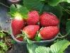 hortplant_pr_1_49_1.jpg