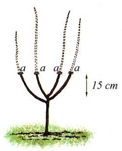 Когда побеги достигнут длины 50-60 см, их укорачивают на высоту около 15 см от места среза  лидера