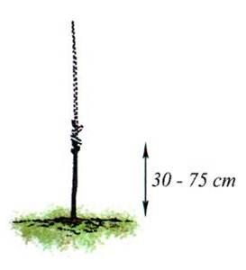 Весной в период распускания почек деревца подрезают на высоте 30-75 см