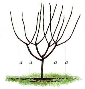 Осенью ветви привязывают к шпалерам, натянутым вдоль рядов (а)