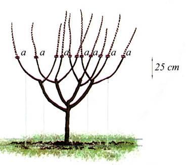 Когда новые побеги(2-го порядка) (а) достигают длины 50-60 см, весной их укорачивают на длину 25 см от их основания