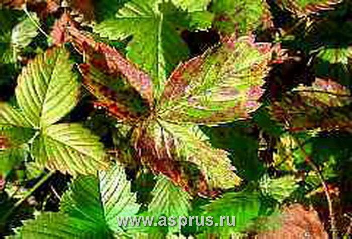 Бурая пятнистость листьев земляники