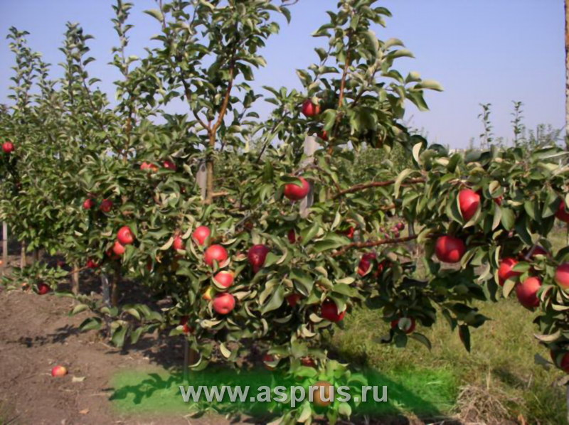 Плодоношение сорта Жигулевское в интенсивном саду