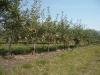 Деревья яблони сорта Лигол в интенсивном саду с формировкой модифицированное стройное веретено