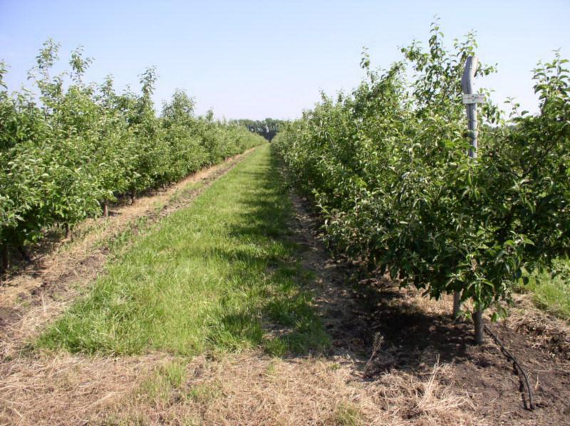 Залужение в интенсивном саду яблони с формировкой модифицированное стройное веретено