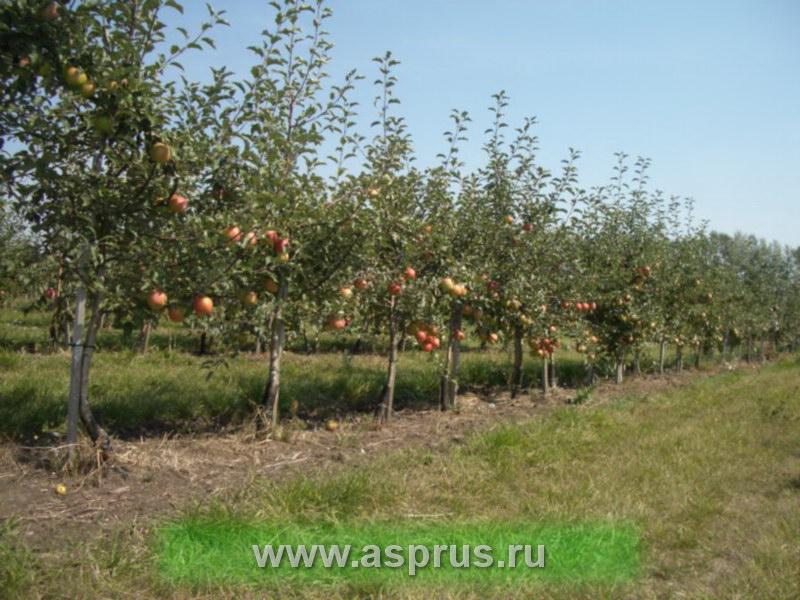 Деревья яблони сорта Лигол в