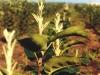 Прищипка апикальных листьев