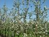 Цветущий интенсивный сад с формировкой модифицированное стройное веретено