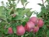 Пазушное плодоношение сорта Орлик