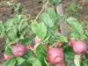 Плодоносящая плодовая ветвь трехлетнего дерева сорта Орлика